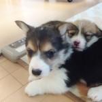 【仔犬情報】ウェルシュ・コーギー・ペンブローク 2016年12月28日生れ・2017年1月18日生