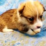【仔犬情報】ウェルシュ・コーギー・ペンブローク 2016年1月18日生れ 生後1か月
