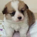 【仔犬情報】ウェルシュ・コーギー・ペンブローク 2018年3月17日生れ